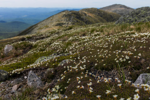 Diapensia, listed as a NH rare and threatened plant, growing in the alpine zone.